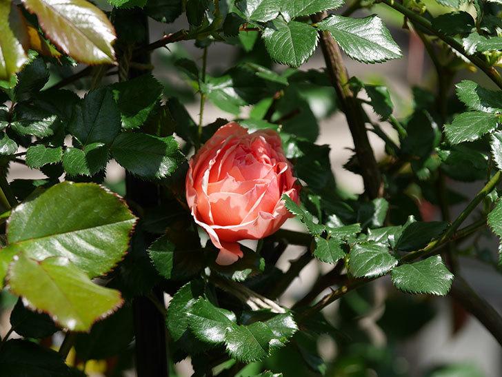 真宙(Masora)の花が咲いた。半ツルバラ。2021年-018.jpg
