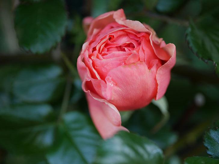 真宙(Masora)の花が少し咲いた。半ツルバラ。2021年-003.jpg