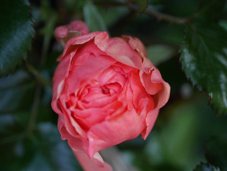 真宙(Masora)の花が少し咲いた。半ツルバラ。2021年-005.jpg