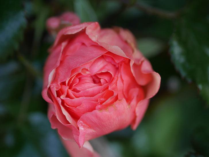真宙(Masora)の花が少し咲いた。半ツルバラ。2021年-006.jpg