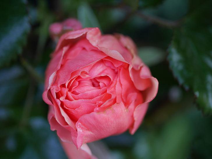 真宙(Masora)の花が少し咲いた。半ツルバラ。2021年-007.jpg