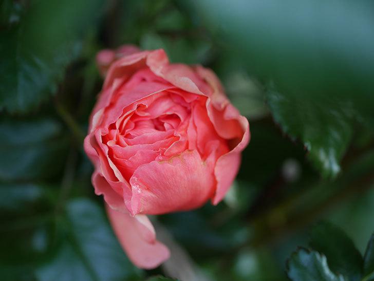 真宙(Masora)の花が少し咲いた。半ツルバラ。2021年-009.jpg