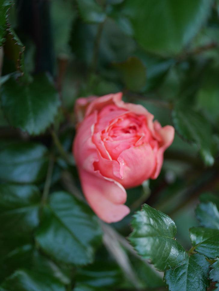 真宙(Masora)の花が少し咲いた。半ツルバラ。2021年-011.jpg