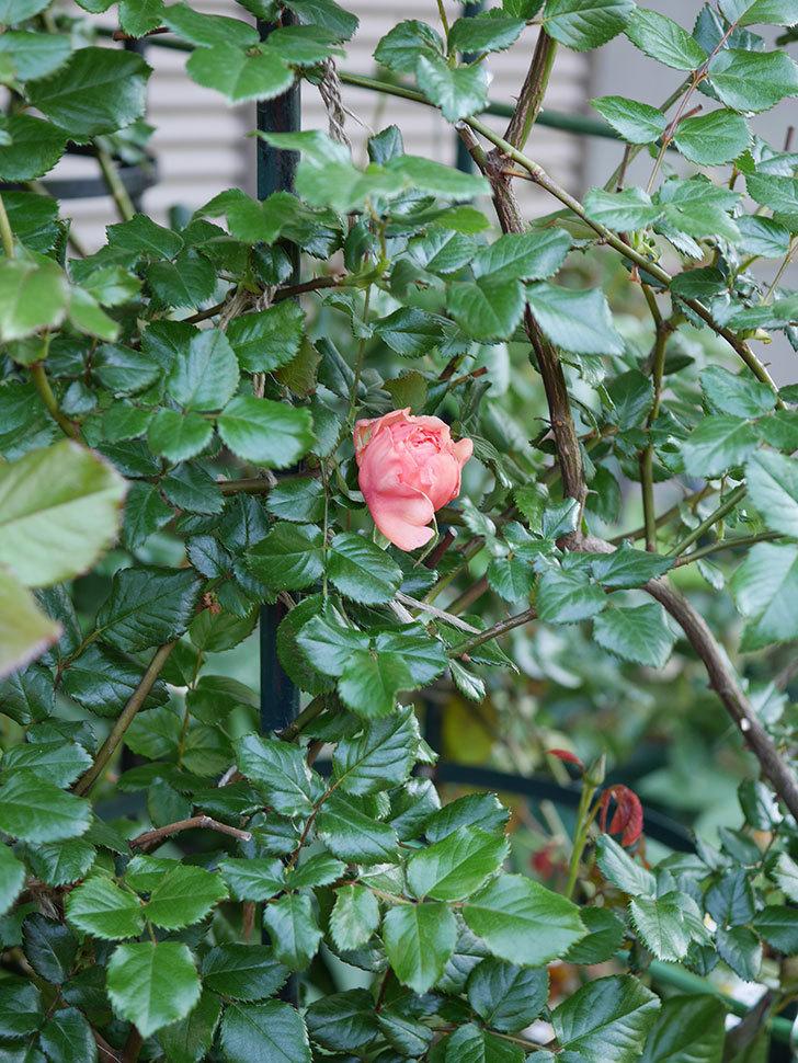 真宙(Masora)の花が少し咲いた。半ツルバラ。2021年-014.jpg