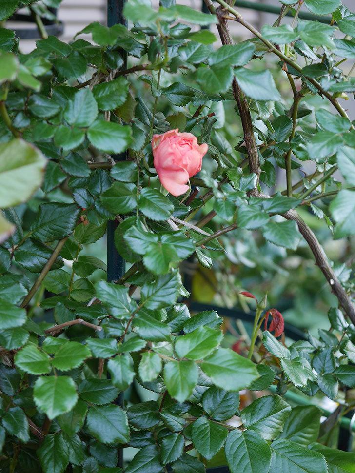 真宙(Masora)の花が少し咲いた。半ツルバラ。2021年-015.jpg