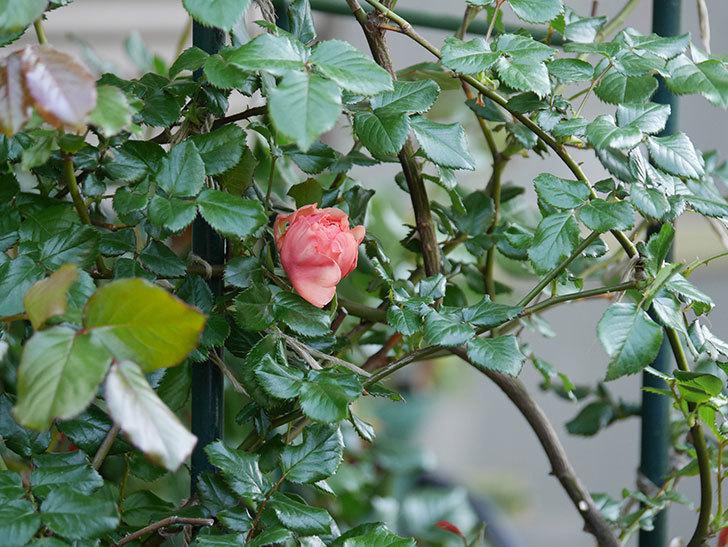 真宙(Masora)の花が少し咲いた。半ツルバラ。2021年-016.jpg