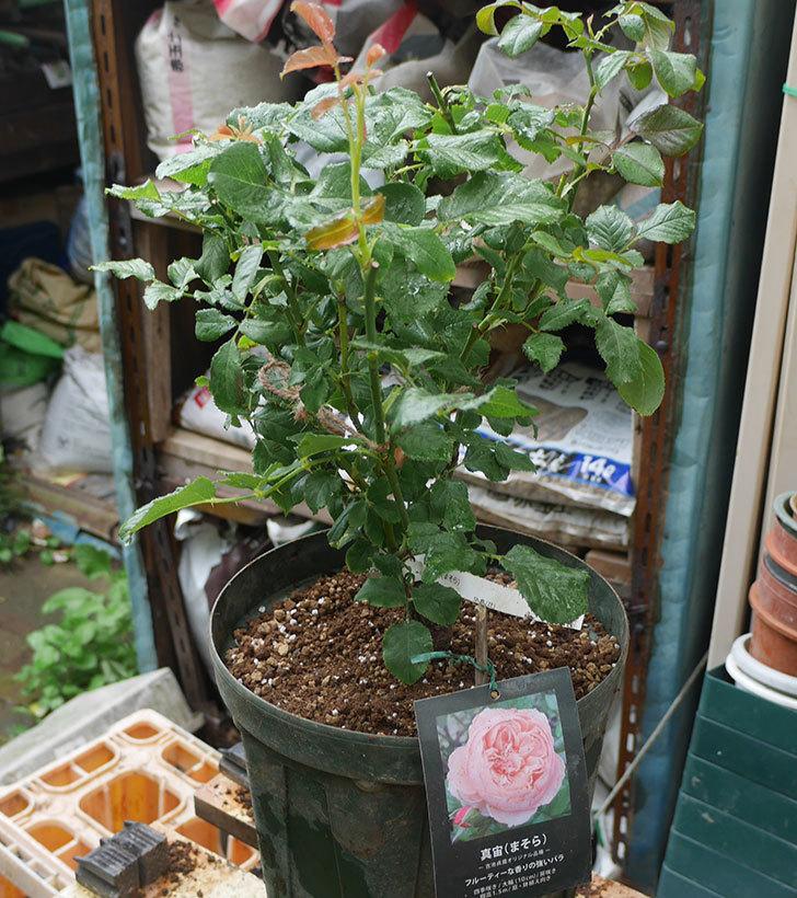 真宙(半ツルバラ)の大苗(鉢植え苗)を8号ロングスリット鉢に植え替えた。2019年-4.jpg
