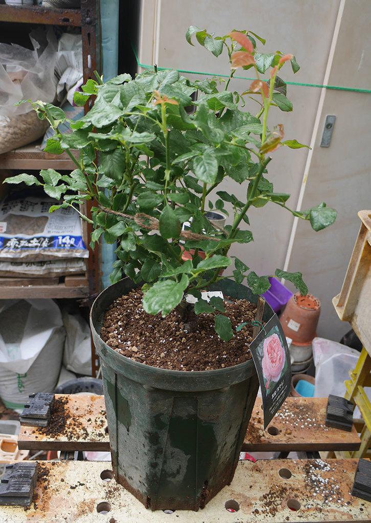 真宙(半ツルバラ)の大苗(鉢植え苗)を8号ロングスリット鉢に植え替えた。2019年-6.jpg