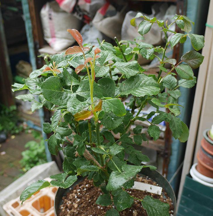 真宙(半ツルバラ)の大苗(鉢植え苗)を8号ロングスリット鉢に植え替えた。2019年-7.jpg