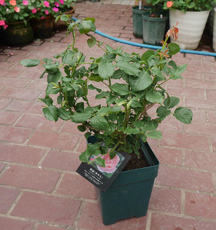 真宙(半ツルバラ)の大苗(鉢植え苗)を楽天のバラの家で買った。2019年-1.jpg