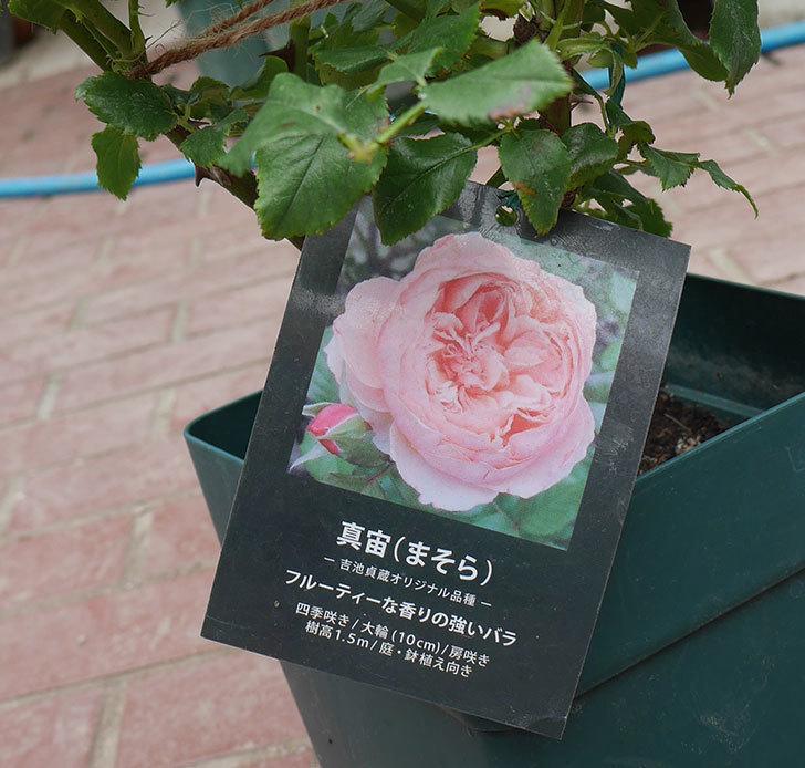 真宙(半ツルバラ)の大苗(鉢植え苗)を楽天のバラの家で買った。2019年-2.jpg