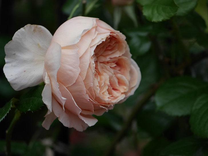 真宙(半ツルバラ)の花がたくさん咲いた。2020年-1016.jpg