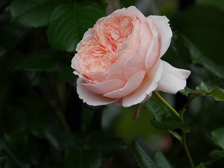 真宙(半ツルバラ)の花がたくさん咲いた。2020年-1017.jpg