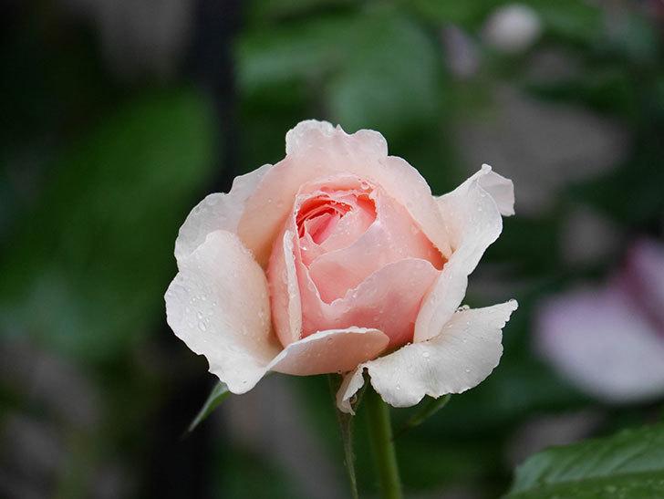 真宙(半ツルバラ)の花がたくさん咲いた。2020年-1024.jpg