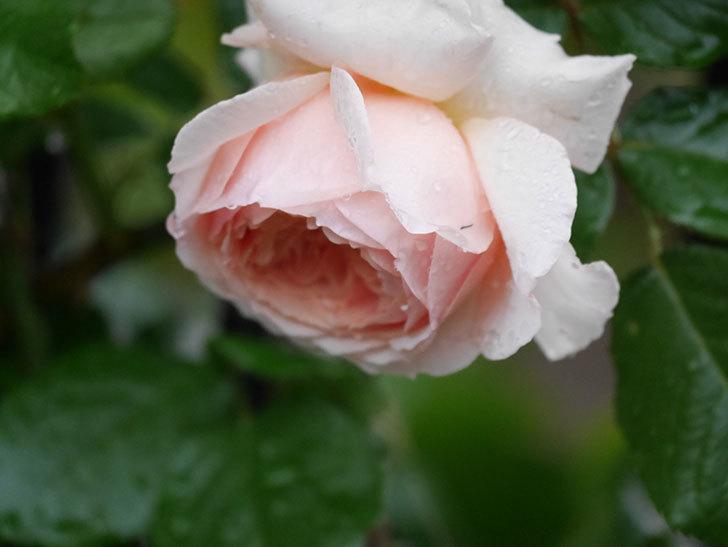 真宙(半ツルバラ)の花がたくさん咲いた。2020年-1025.jpg