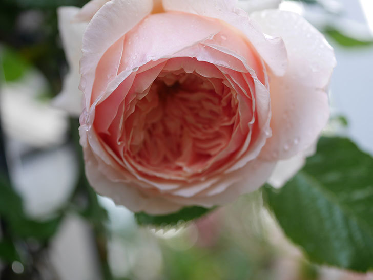 真宙(半ツルバラ)の花がたくさん咲いた。2020年-1027.jpg