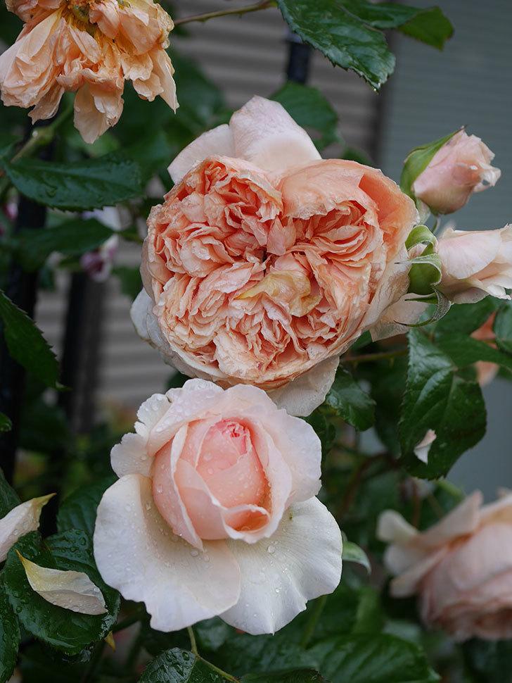 真宙(半ツルバラ)の花がたくさん咲いた。2020年-1030.jpg