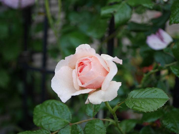 真宙(半ツルバラ)の花がたくさん咲いた。2020年-1031.jpg