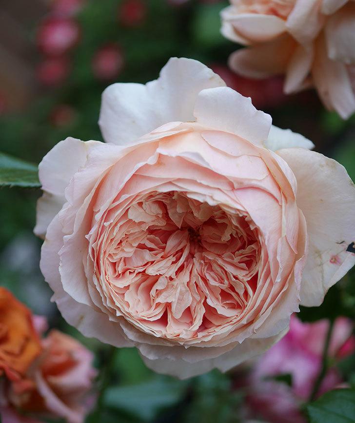 真宙(半ツルバラ)の花がたくさん咲いた。2020年-2.jpg
