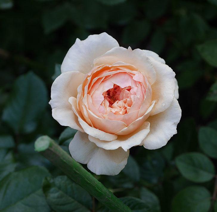 真宙(半ツルバラ)の花が咲いた。2019年-1.jpg