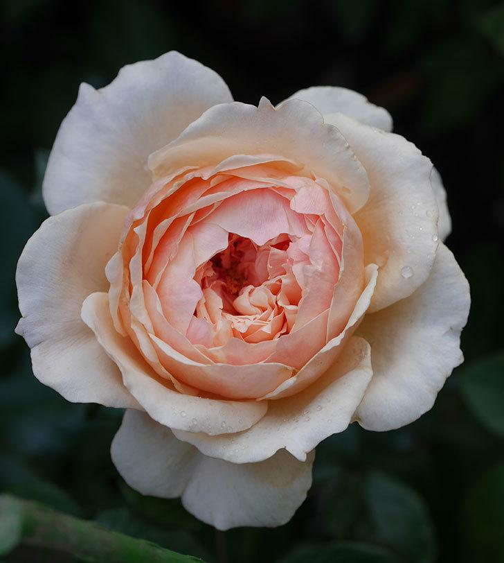 真宙(半ツルバラ)の花が咲いた。2019年-2.jpg