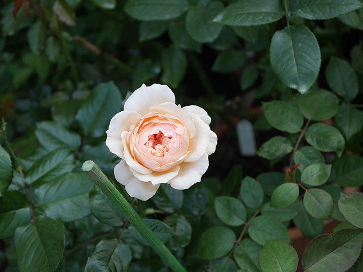 真宙(半ツルバラ)の花が咲いた。2019年-3.jpg