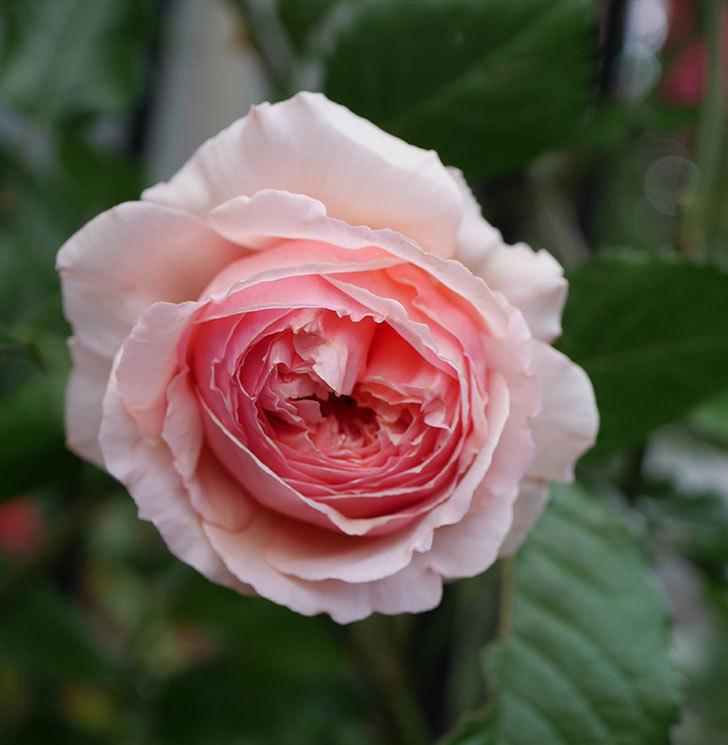 真宙(半ツルバラ)の花が咲いた。2020年-1.jpg