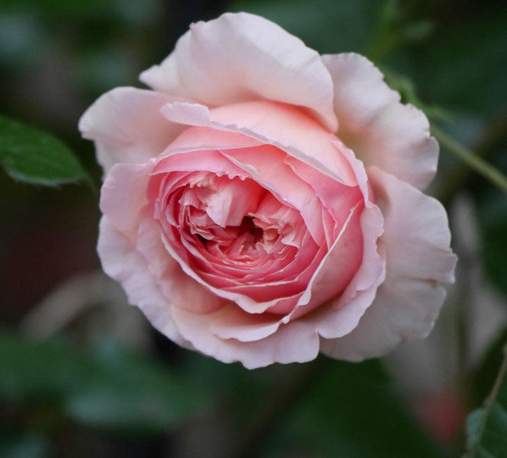 真宙(半ツルバラ)の花が咲いた。2020年-6.jpg