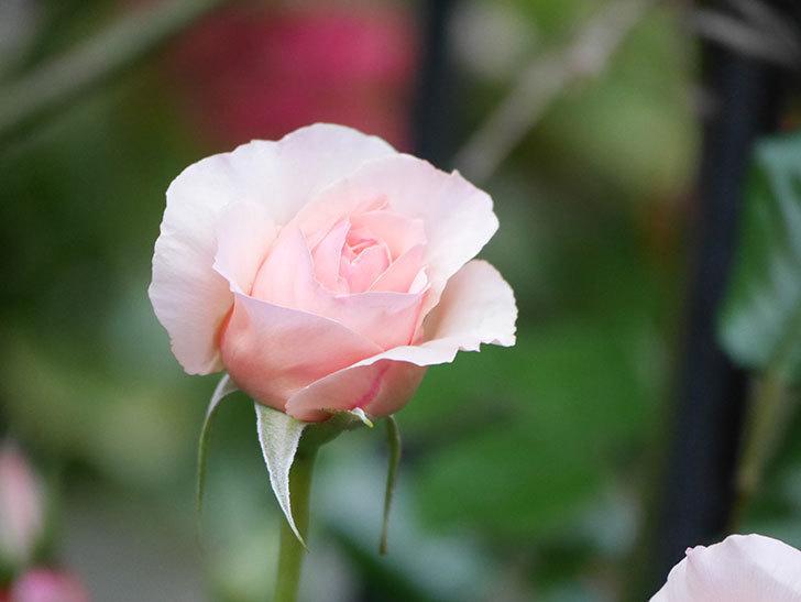 真宙(半ツルバラ)の花が咲いた。2020年-7.jpg
