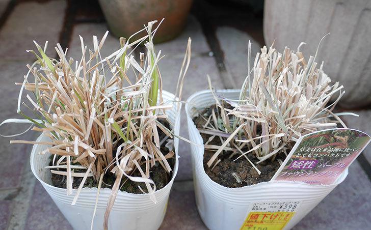 矮性パープルファウンテングラスの苗がホームズで150円だったので2個買って来た。2019年-1.jpg