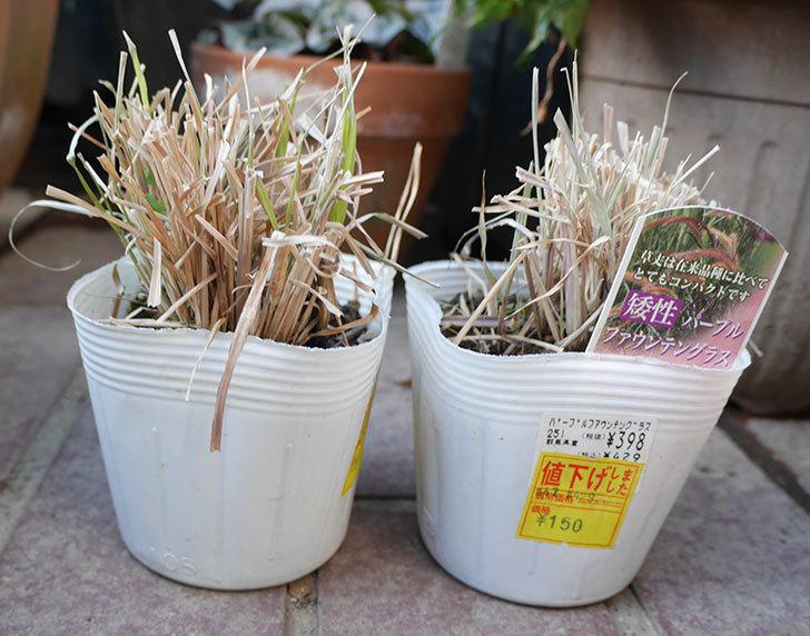 矮性パープルファウンテングラスの苗がホームズで150円だったので2個買って来た。2019年-2.jpg