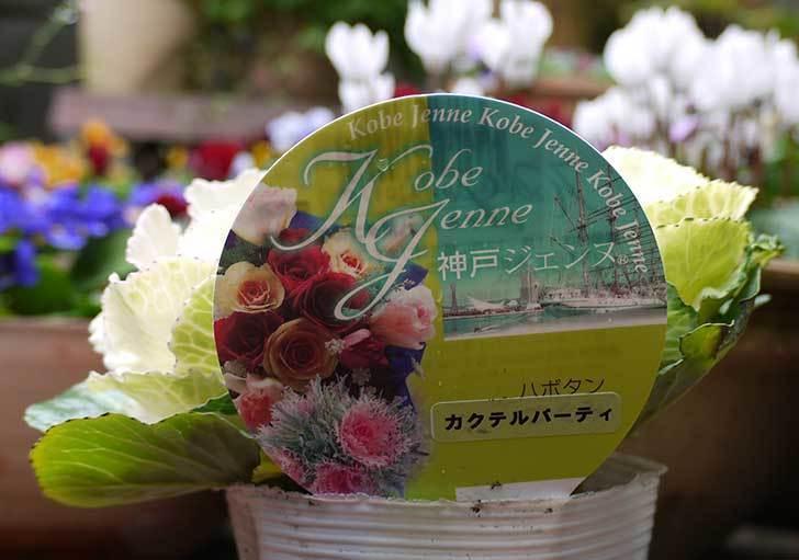 神戸ジェンヌ-ハボタン-カクテルパーティーをカインズで買ってきた2.jpg