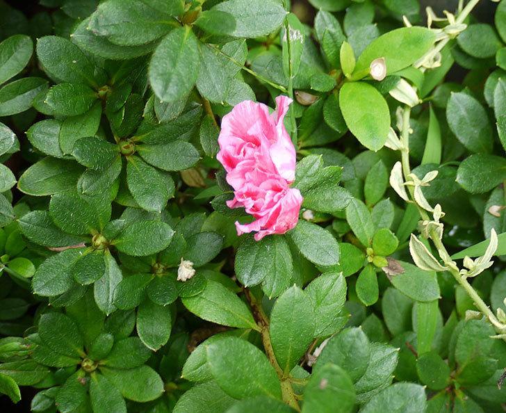 秋だけどアザレアが咲いた。2016年-1.jpg