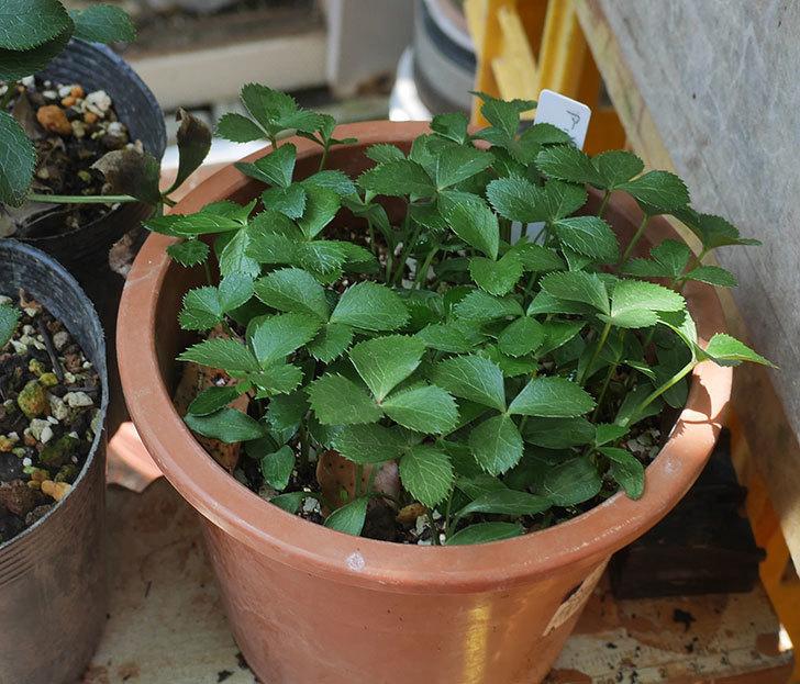 種から発芽したアシュードホワイトシフォンの苗をポット上げした。2020年-2.jpg