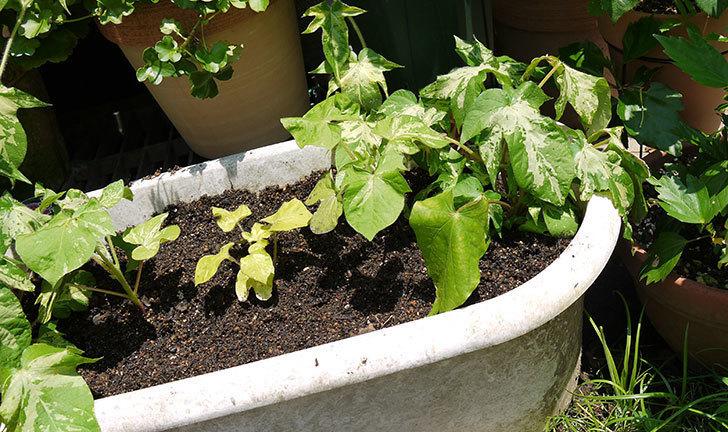 種から育てたアサガオの苗をプランターに植えた1.jpg