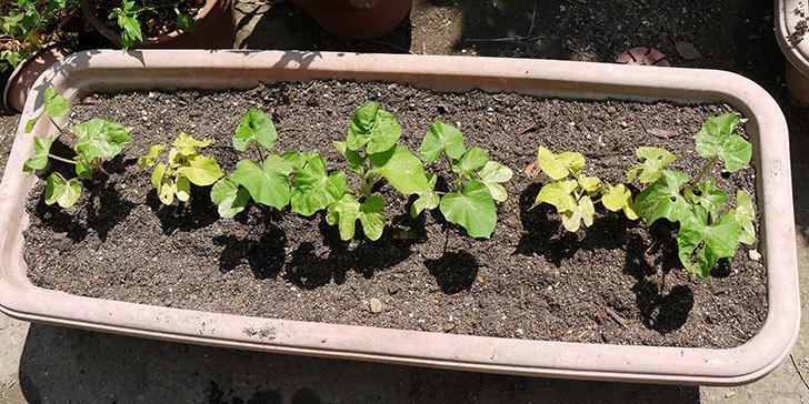 種から育てたアサガオの苗をプランターに植えた2.jpg