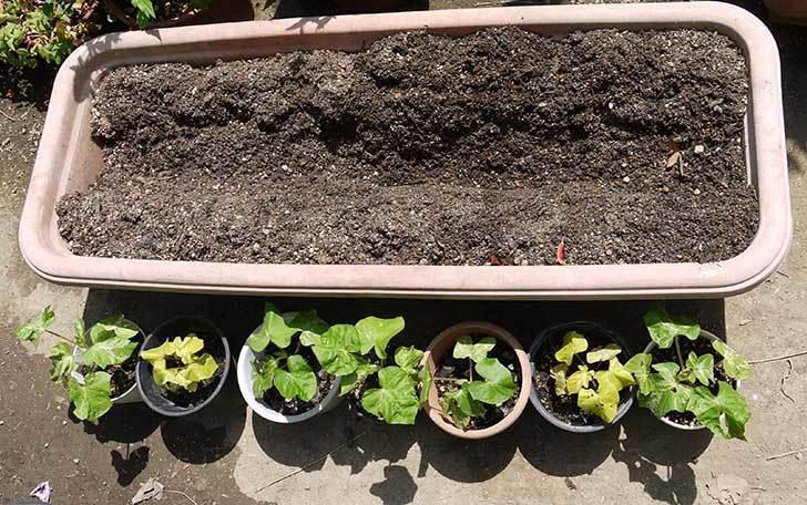 種から育てたアサガオの苗をプランターに植えた3.jpg