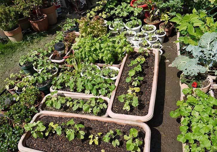 種から育てたアサガオの苗をプランターに植えた4.jpg