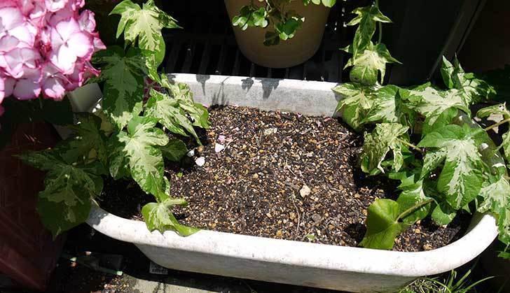 種から育てたアサガオの苗をプランターに植えた5.jpg