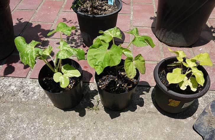 種から育てたアサガオの苗をプランターに植えた6.jpg