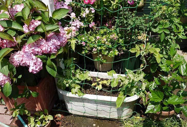 種から育てたアサガオの苗をプランターに植えた8.jpg