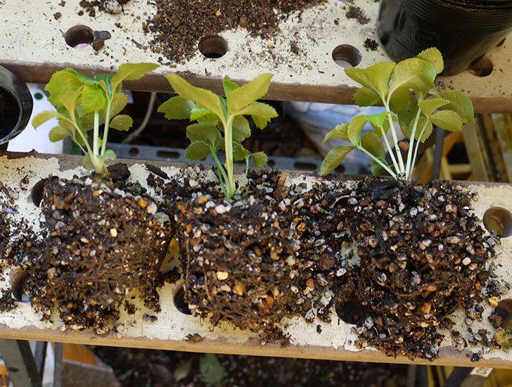 種から育てたクリスマスローズの1年目苗を植え替えた。2016年-3.jpg