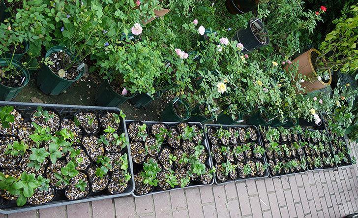 種から育てたクリスマスローズの1年目苗を植え替えた。2016年-5.jpg