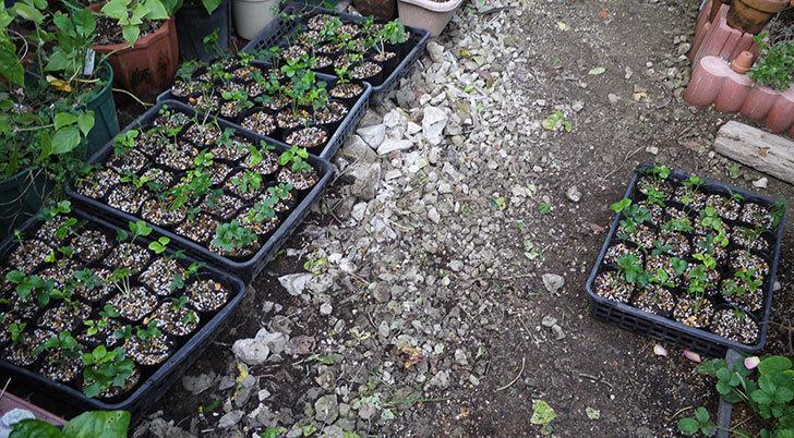 種から育てたクリスマスローズの1年目苗を植え替えた。2016年-8.jpg