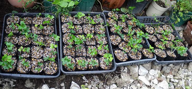 種から育てたクリスマスローズの1年目苗を植え替えた。2016年-9.jpg