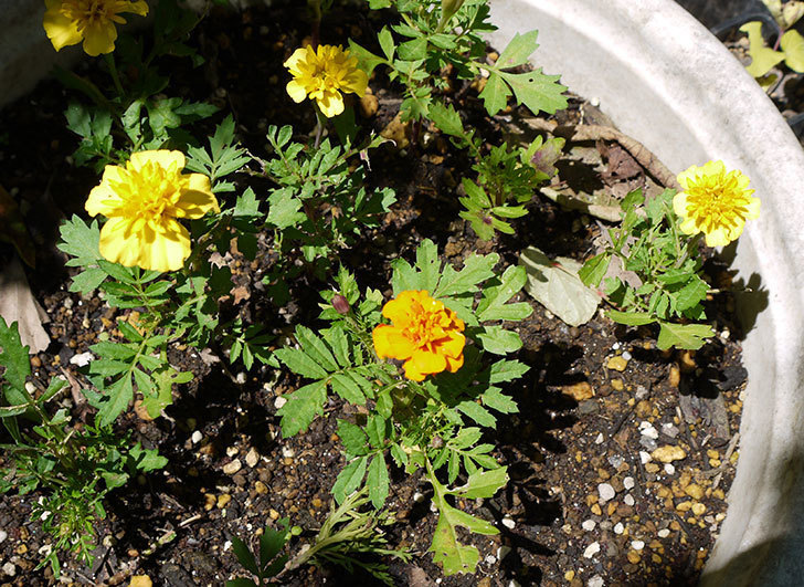 種から育てたマリーゴールドが咲いた。2016年-1.jpg
