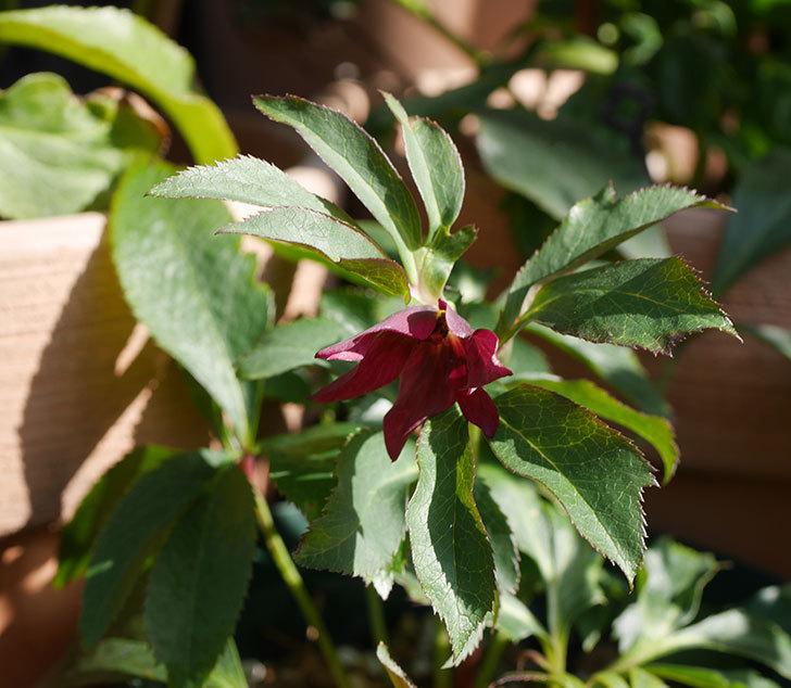 種から育てている3年目のクリスマスローズの花が1個咲いた。2020年-1.jpg