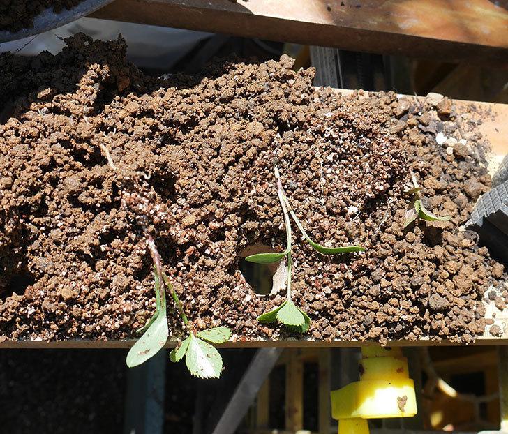 種から育てているクリスマスローズの植え替えした。2019年-3.jpg