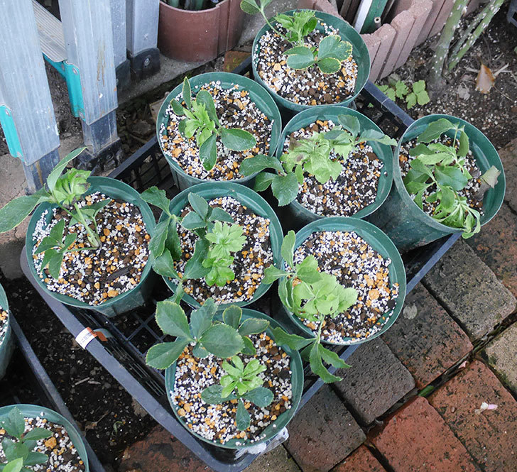 種から育てているクリスマスローズをスリット鉢に植え替えた。2019年-6.jpg