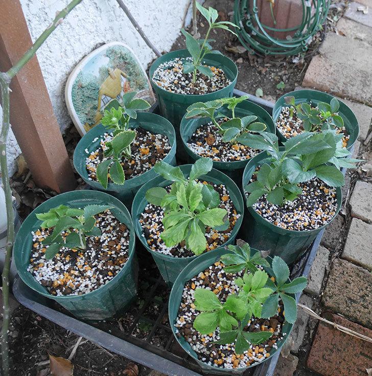 種から育てているクリスマスローズをスリット鉢に植え替えた。2019年-7.jpg